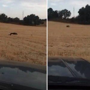 Un nuevo vídeo de furtivos corriendo liebres desde el coche indigna a los cazadores