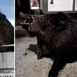 Cazan a cuchillo un jabalí 'vakamulo' de 155 kilos en Galicia