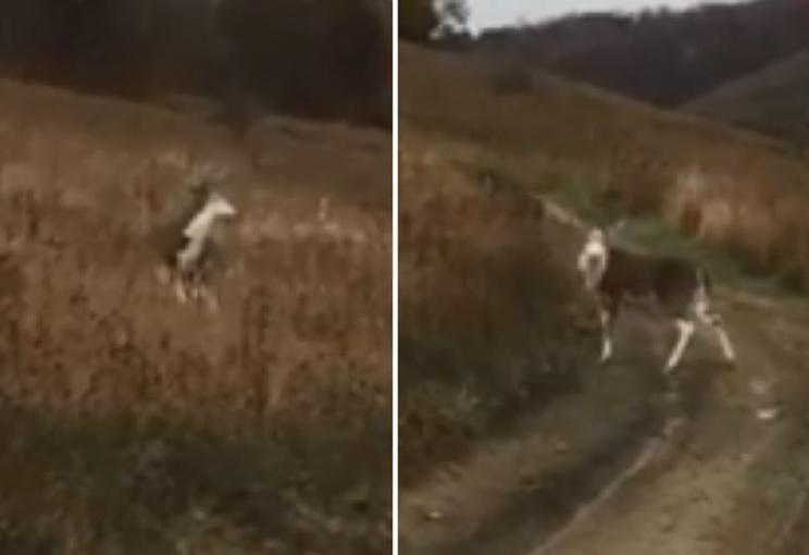 Graban un extraño ciervo con la cara y las patas blancas