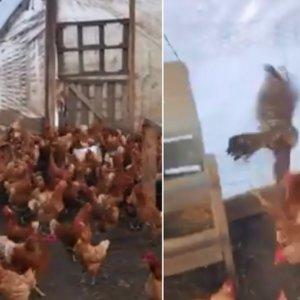 Graban a decenas de gallinas intentando matar a un azor