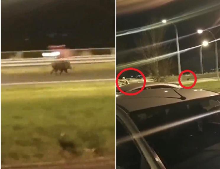 Así se fragua la tragedia: un jabalí entra en una autovía gallega por el carril de aceleración