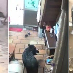 Un jabalí con tres patas se cuela en una casa y la Policía lo abate