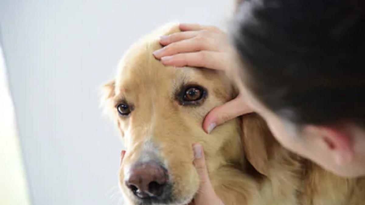 Veterinarios alertan de la propagación de la enfermedad del 'gusano del ojo' en perros en España