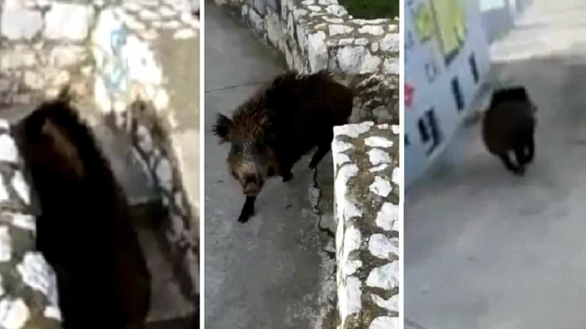 Graba cómo un jabalí le ataca antes de internarse en un pueblo de Asturias