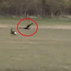 Águilas cazando corzos, el vídeo que arrasa entre los cazadores