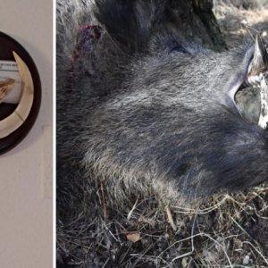Caza un descomunal jabalí en una humilde montería en Cuenca