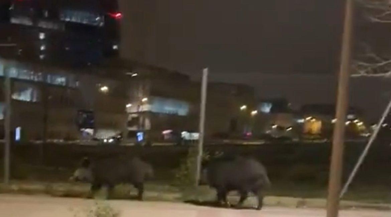 Graban a dos jabalíes paseando por las calles de Madrid