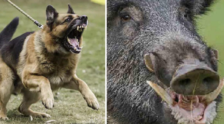 Un jabalí de 120 kilos ataca a dos excursionistas: «Mi pobre perro fue destripado»