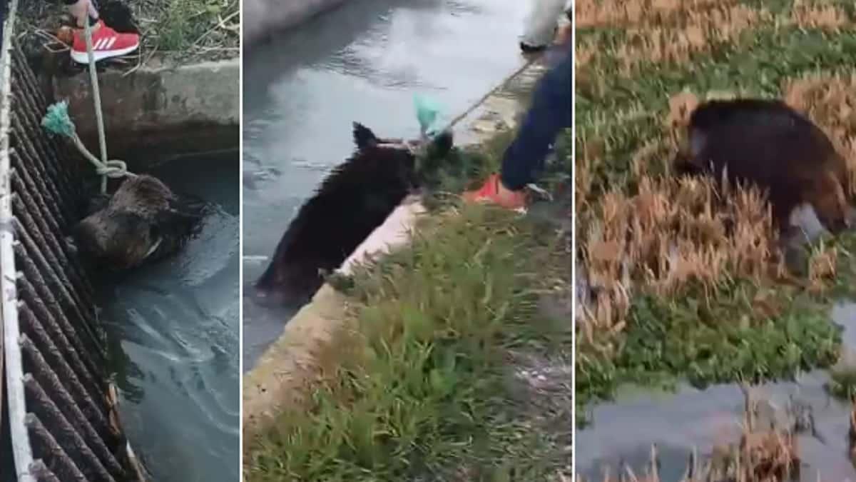 Dos cazadores salvan a un jabalí que estaba a punto de morir en una acequia