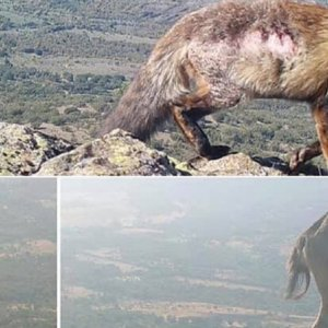 Aparecen animales con sarna en Guadarrama, donde PACMA paralizó la caza de cabras
