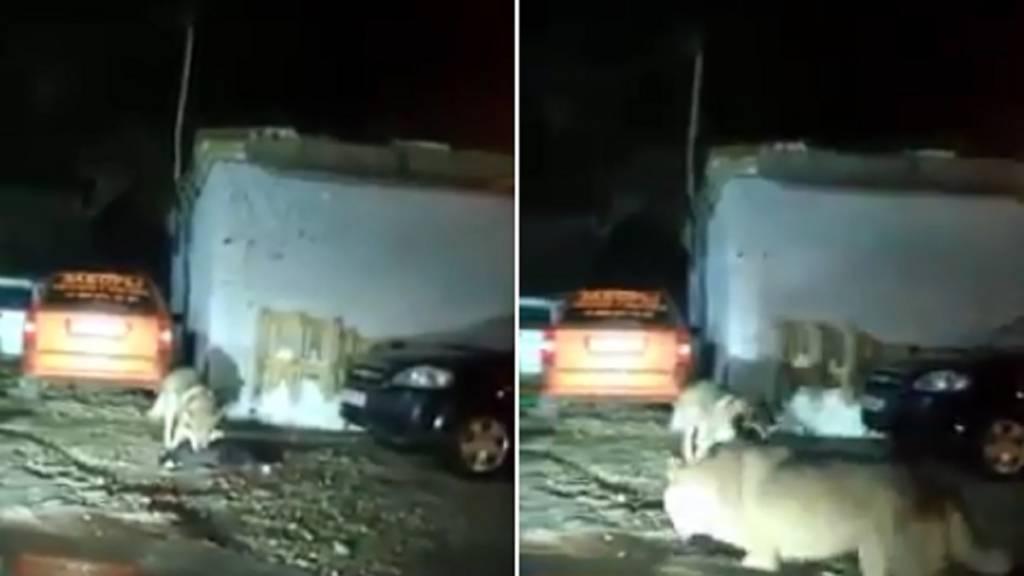 lobos matando a un perro