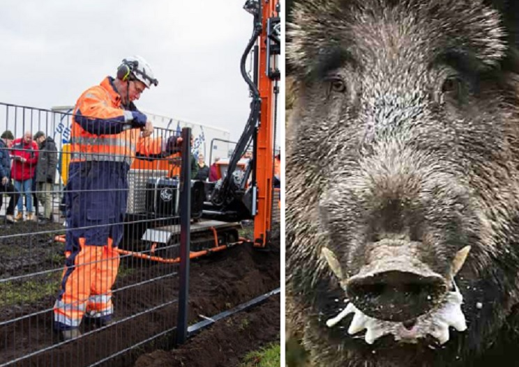 Dinamarca comienza a construir una barrera contra la peste porcina africana