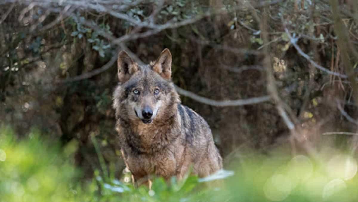 El Gobierno Vasco incluirá al lobo en el catálogo de especies amenazadas con la categoría de «interés especial»