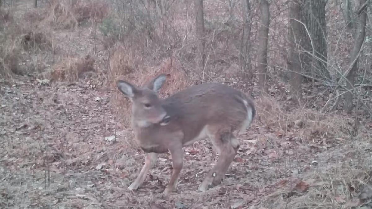 Un cámara trampa graba a un ciervo 'Hobbit' que se vuelve viral