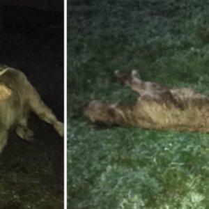 Lobos, buitres... y ahora zorros: le matan un ternero recién parido y el ganadero se queda sin indemnización