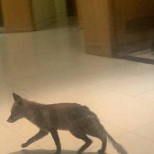Un zorro se cuela en el Parlamento Británico y defeca en su interior