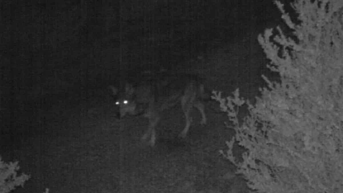 Una cámara de fototrampeo consigue grabar a varios lobos ¡en Cataluña!