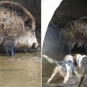 Graban a un enorme jabalí bajo un puente que planta cara a los perros que le persiguen