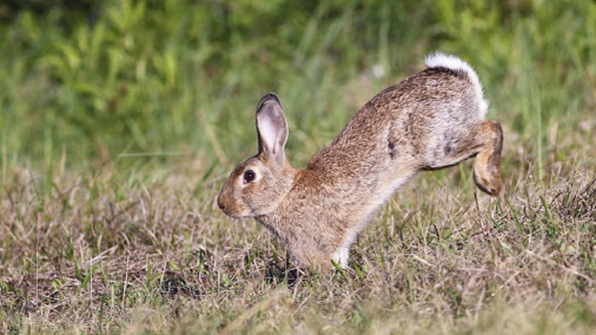 Un pueblo pagará a los cazadores por conejo abatido para frenar su plaga