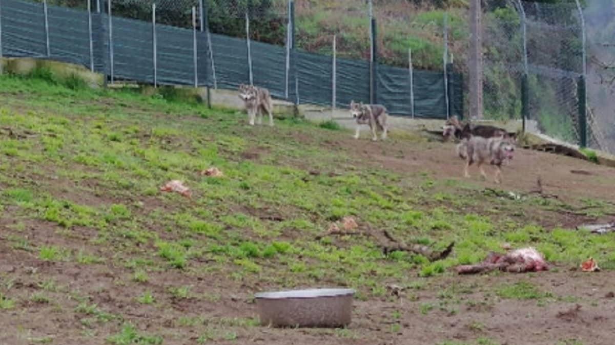 Intervienen un lobo ibérico y tres cachorros cruzados a un gallego