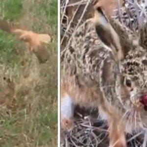 Un cazador salva a una liebre del ataque de una rapaz