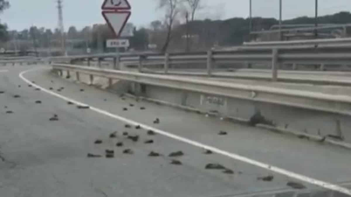 Alerta ante la aparición de decenas de estorninos muertos en una carretera de Cataluña