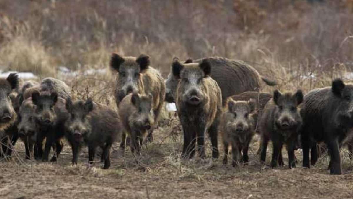 Cataluña reconoce el «papel clave de los cazadores» para frenar la sobrepoblación de jabalíes
