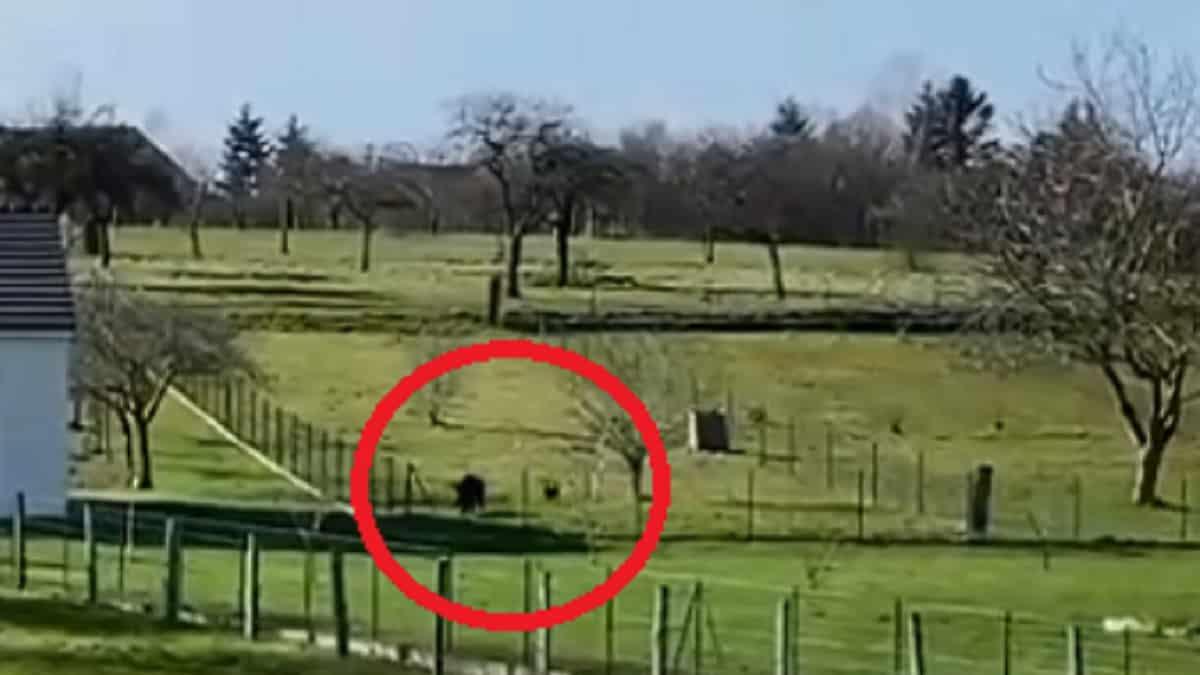 Un jabalí se cuela en el jardín de una vivienda y ataca a un perro