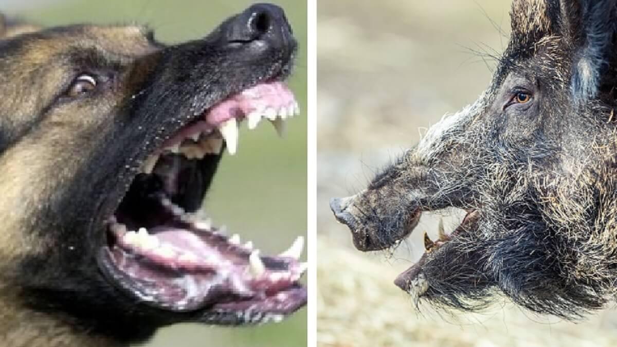 Un jabalí se enzarza con un perro en un pueblo gallego y lo hiere de gravedad