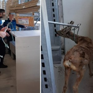 Un corzo se cuela en un almacén de bricolaje de Navarra
