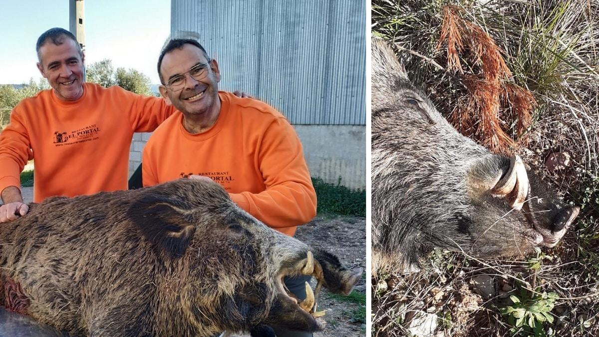 Caza un viejo jabalí de 110 kilos que tenía un solo colmillo