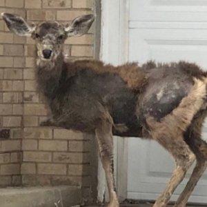 La muerte por cáncer de este ciervo demuestra por qué no debemos alimentar a la fauna salvaje