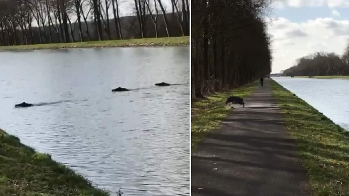 Espectacular huida de una piara de jabalíes arrojándose a un canal