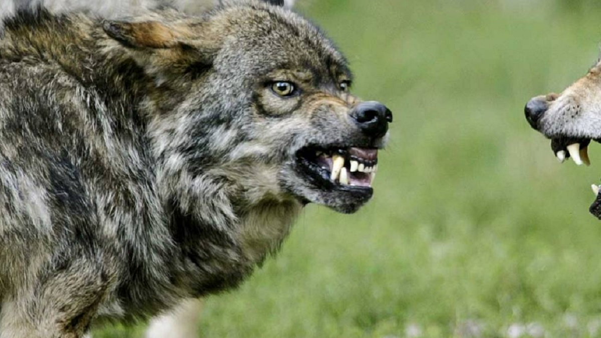 Artemisan lamenta que Narbona invite a los ecologistas a denunciar a CyL para impedir el control del lobo