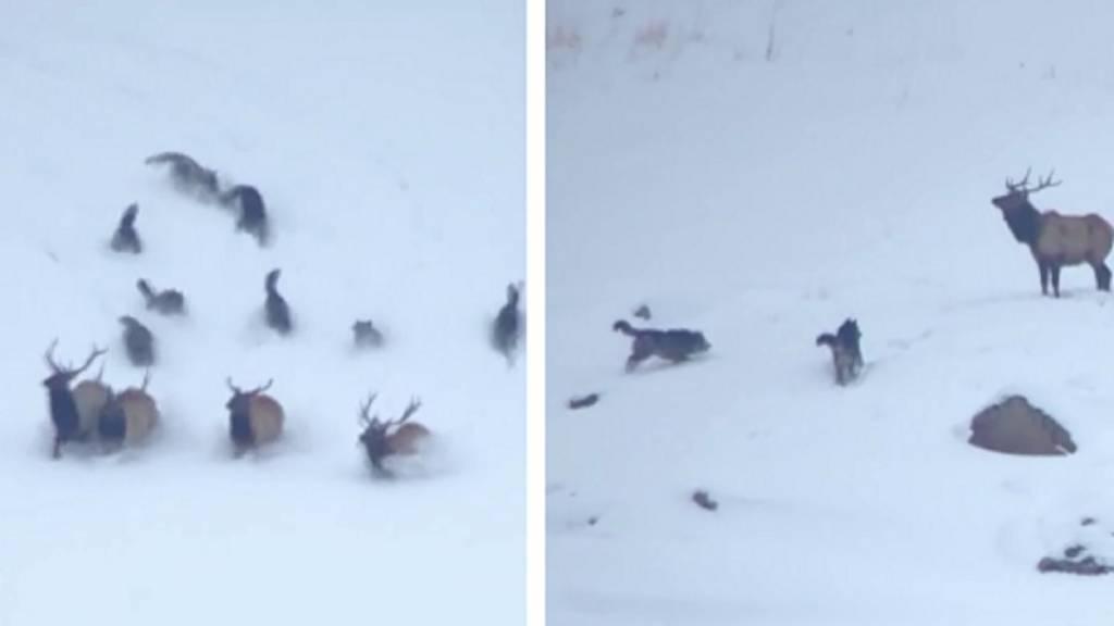 lobos ciervos