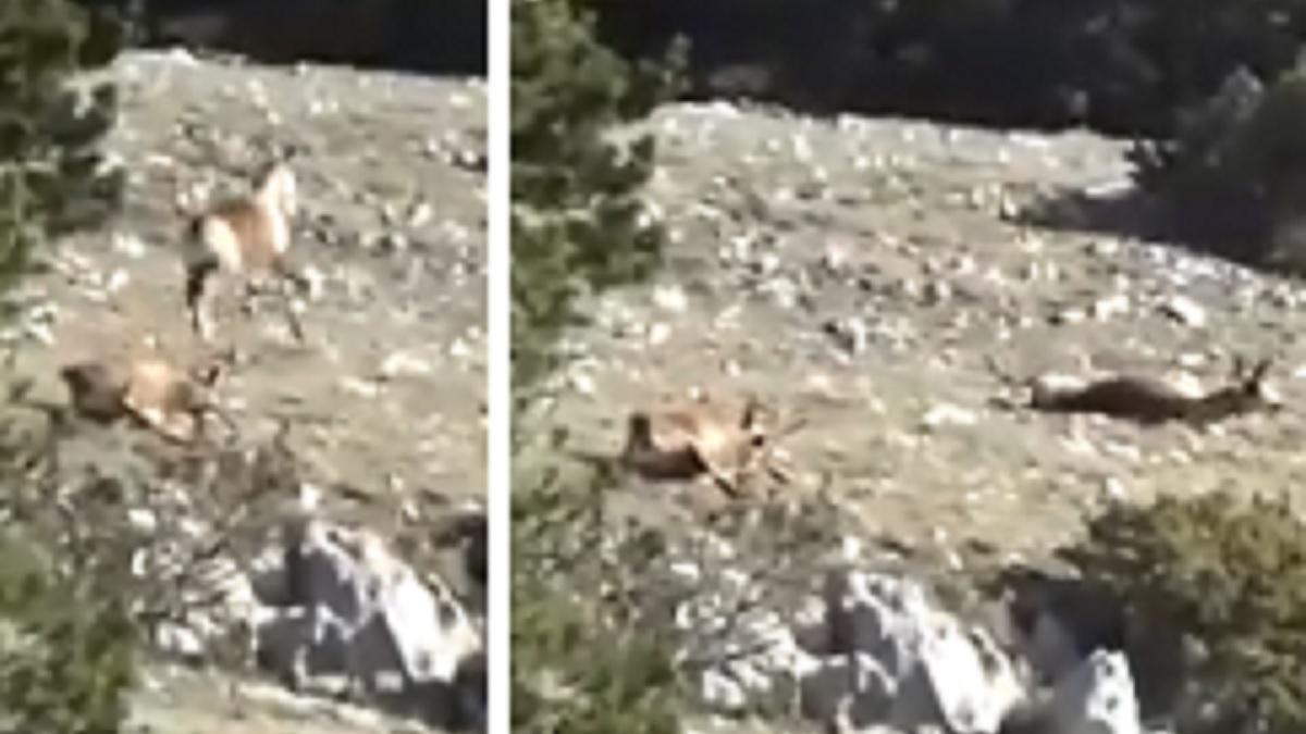 Caza dos rebecos de un solo disparo y lo graba en vídeo