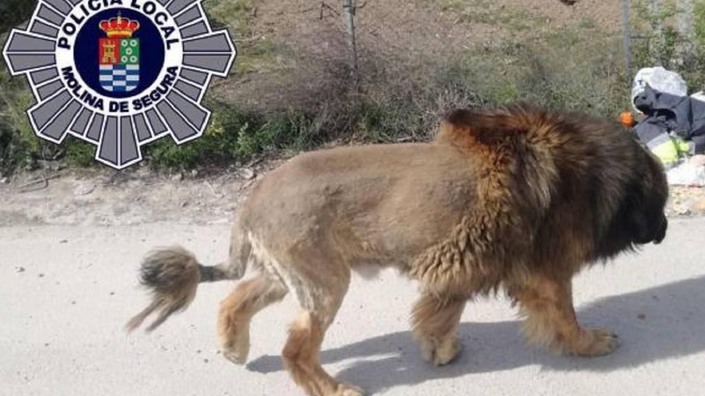 león perro murcia