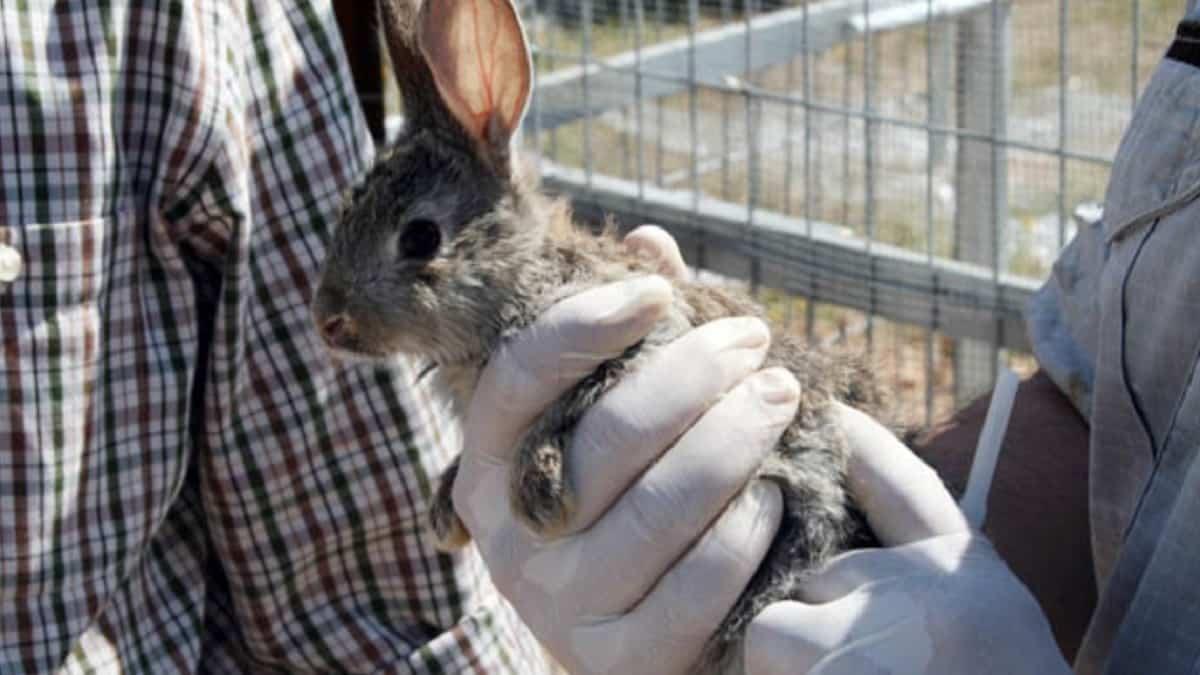 La Federación Extremeña de Caza presenta un proyecto para recuperar las poblaciones de conejo de monte