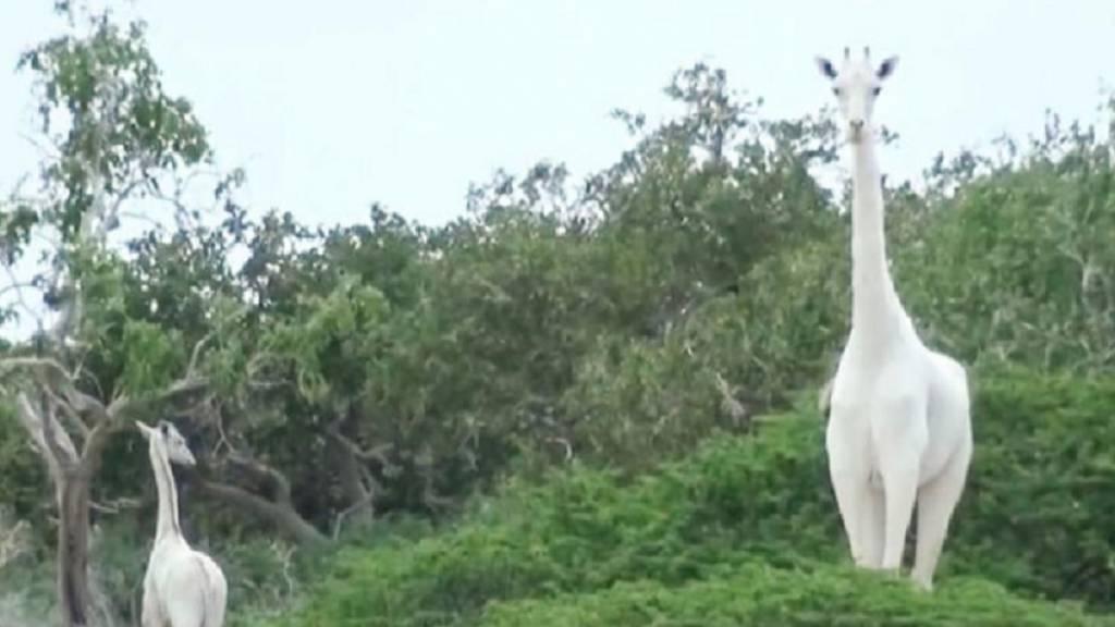 jirafa blanca kenia