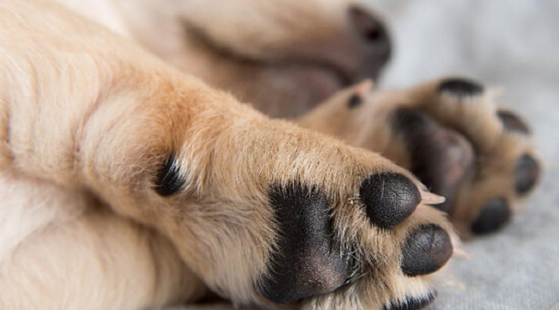Si sacas a pasear a tu perro durante la cuarentena ¡limpia sus almohadillas al llegar a casa!