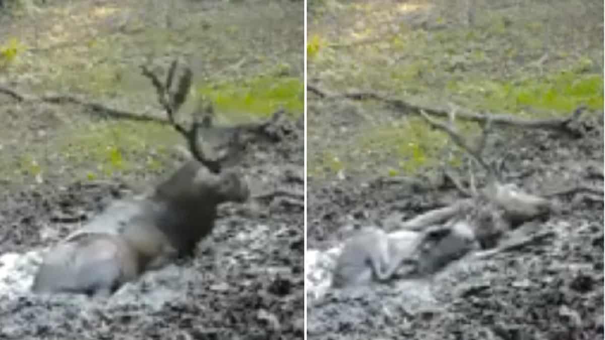 ¿Por qué crees que este ciervo se comporta así?