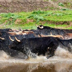 Monumental 'zasca' de un ganadero de toros bravos a los animalistas que se alegran de que no se lidien