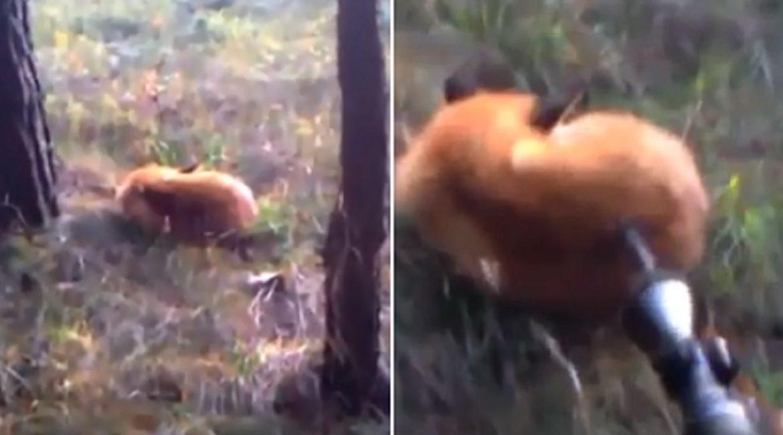 Un cazador se encuentra un zorro durmiendo a pata suelta y ¡mira lo que hace!