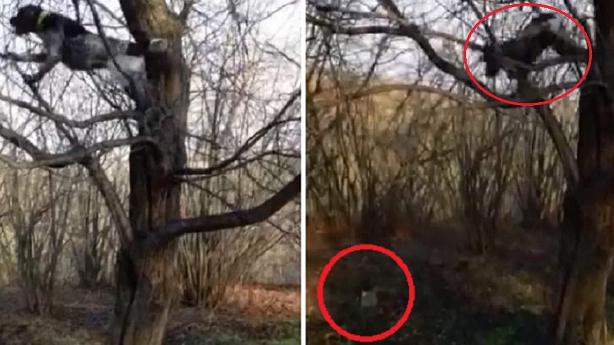 Un perro de caza trepa a un árbol para cobrar una paloma
