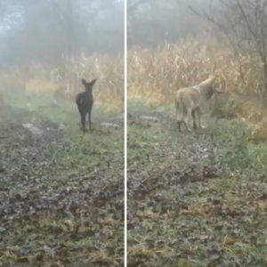 El impactante vídeo de una manada de lobos cazando dos corzos