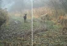 corzos lobos