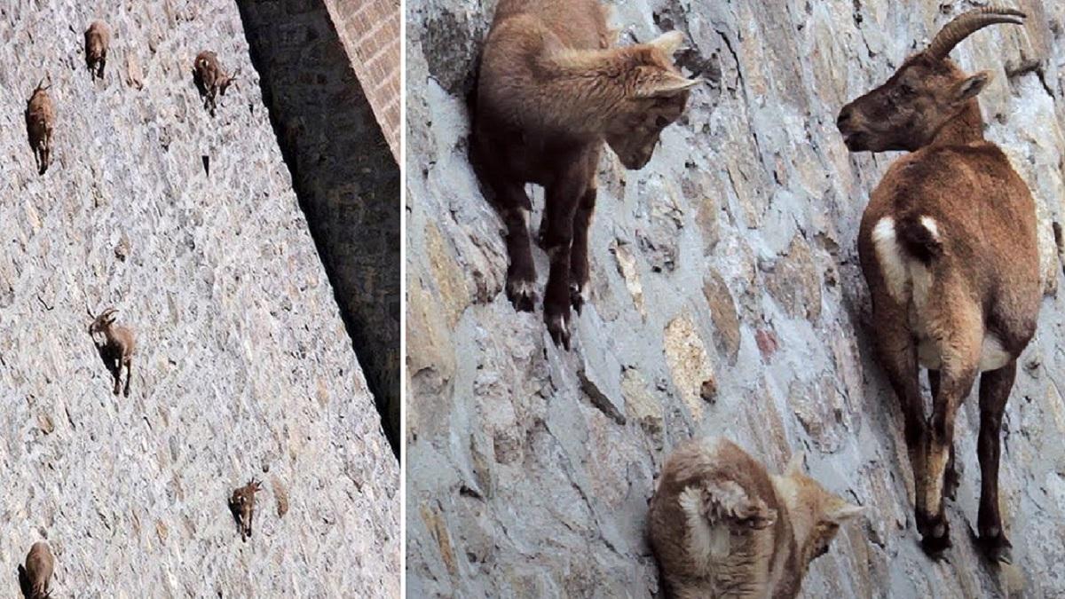 Graban a un grupo de cabras monteses trepando por una pared vertical