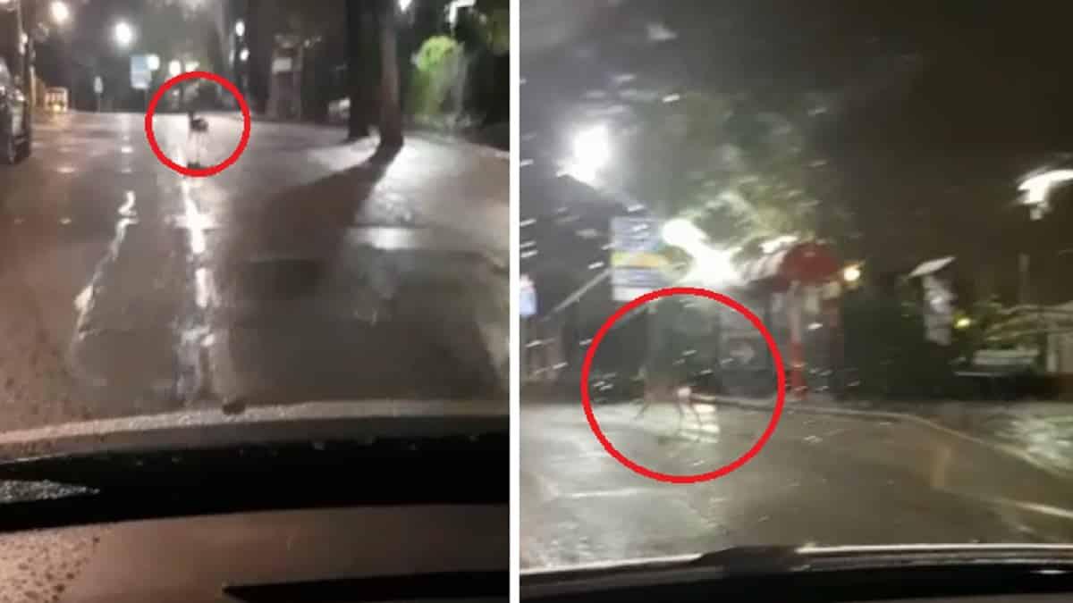La policía persigue a un corzo por las calles de Madrid