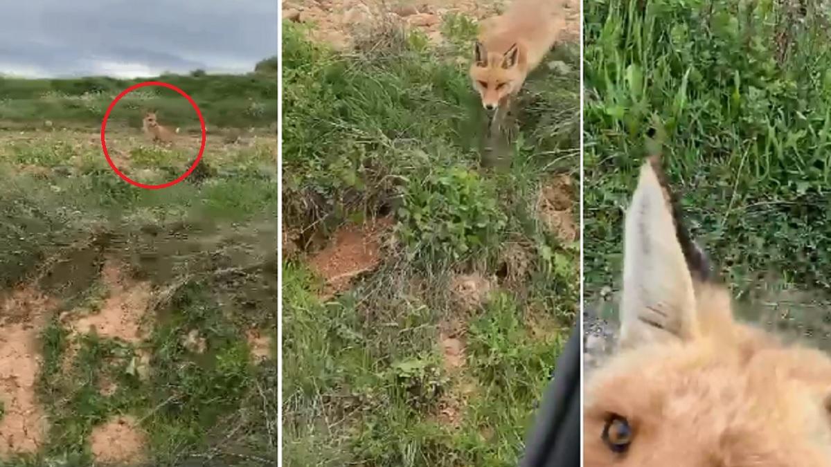 La increíble historia de un zorro que cada día come de la mano de un cazador