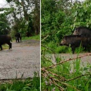 El vídeo de jabalíes más cochino jamás grabado: entran en un pueblo y se aparean frente a los vecinos